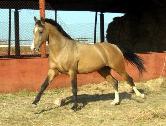 Nardeen (Kůň)